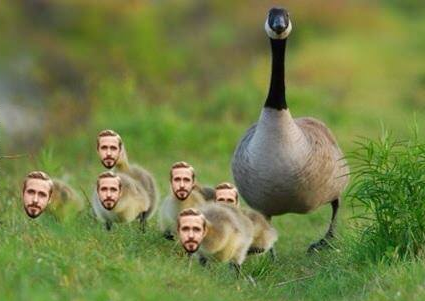 and here we can see. a mother goose and her goslings..