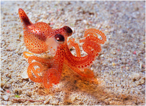 baby octopus. .. I've seen enough hentai to know where this is going