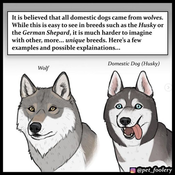 """Dog breeds by petfoolery. .. I have a Great Dane, her names bella and she's the sweetest, my parents when they had their horses would always joke """"we have 2 and a quarter horses"""""""