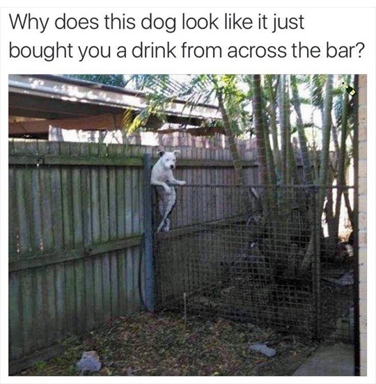 Doggo has an evening out. . does this dog look like it just bought you ?t drink from across the bar'?
