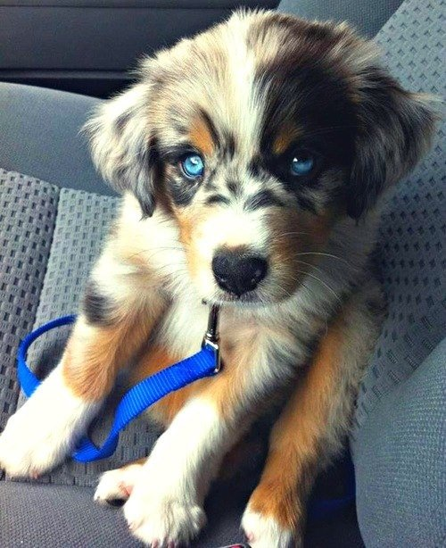 Golden/Husky Mix. .. Yeaaaa, no. It's an Australian Shepherd, .