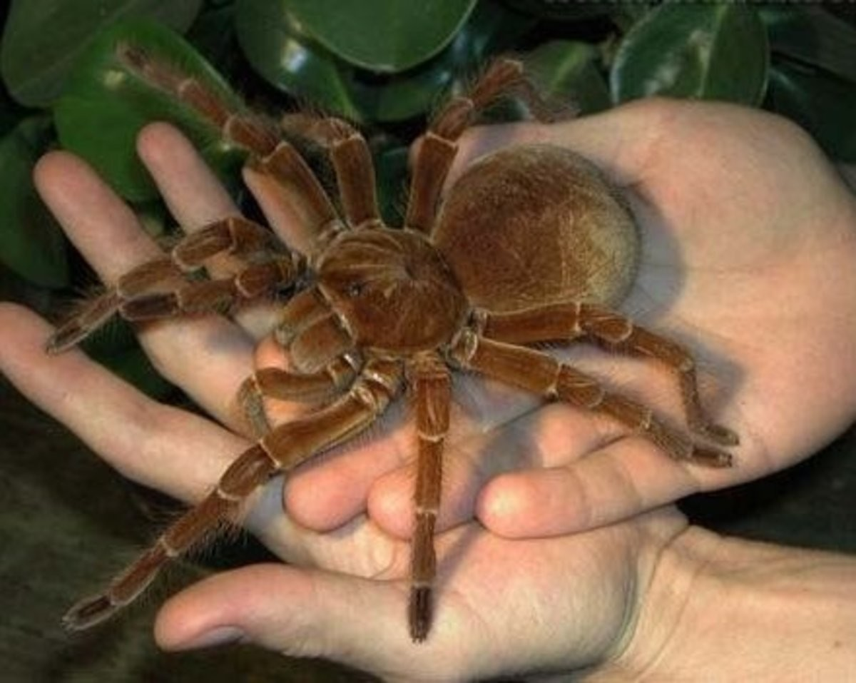 Goliath Birdeater. .. >That part in the Spider-Man game where JJJ referenced this and said that Spider-Man eats live pigeons