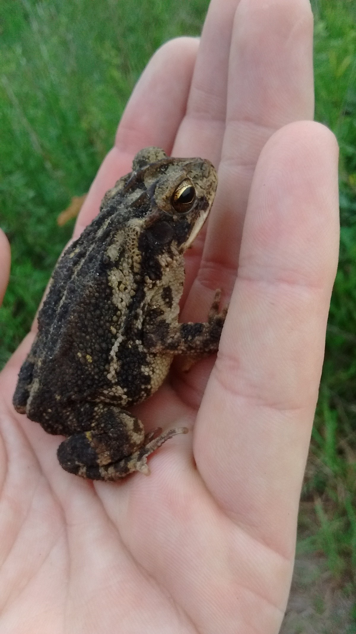More frogposting. Technically a toad Bufo americanis Toads are cute.. The toads down here in Texas have wider/flatter, more toad-like faces. I love catching em for and giggles.