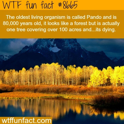 Pando un liveruu. .. Every living thing is dying and of course as an 80,000 year old tree parts of it are gonna be turning into mulch its natural