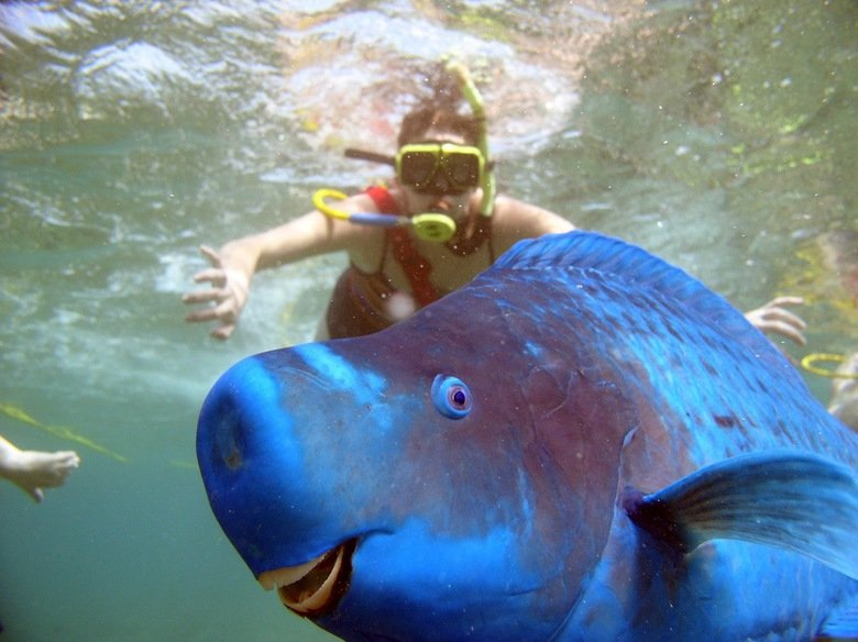 Photobombed by a Blue Parrotfish. Guys there's this fish called a Blue Parrot-fish & it always looks happy, I mean look at it... all i see is a scuba diver photobombing a fish