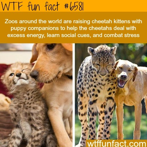 Pupper with a cupper. . WT'? Win Fact Zoos around tho wood ans raising cheetah kittens with puppy companions to help tho Shasta's deal with snows snowy, learn s