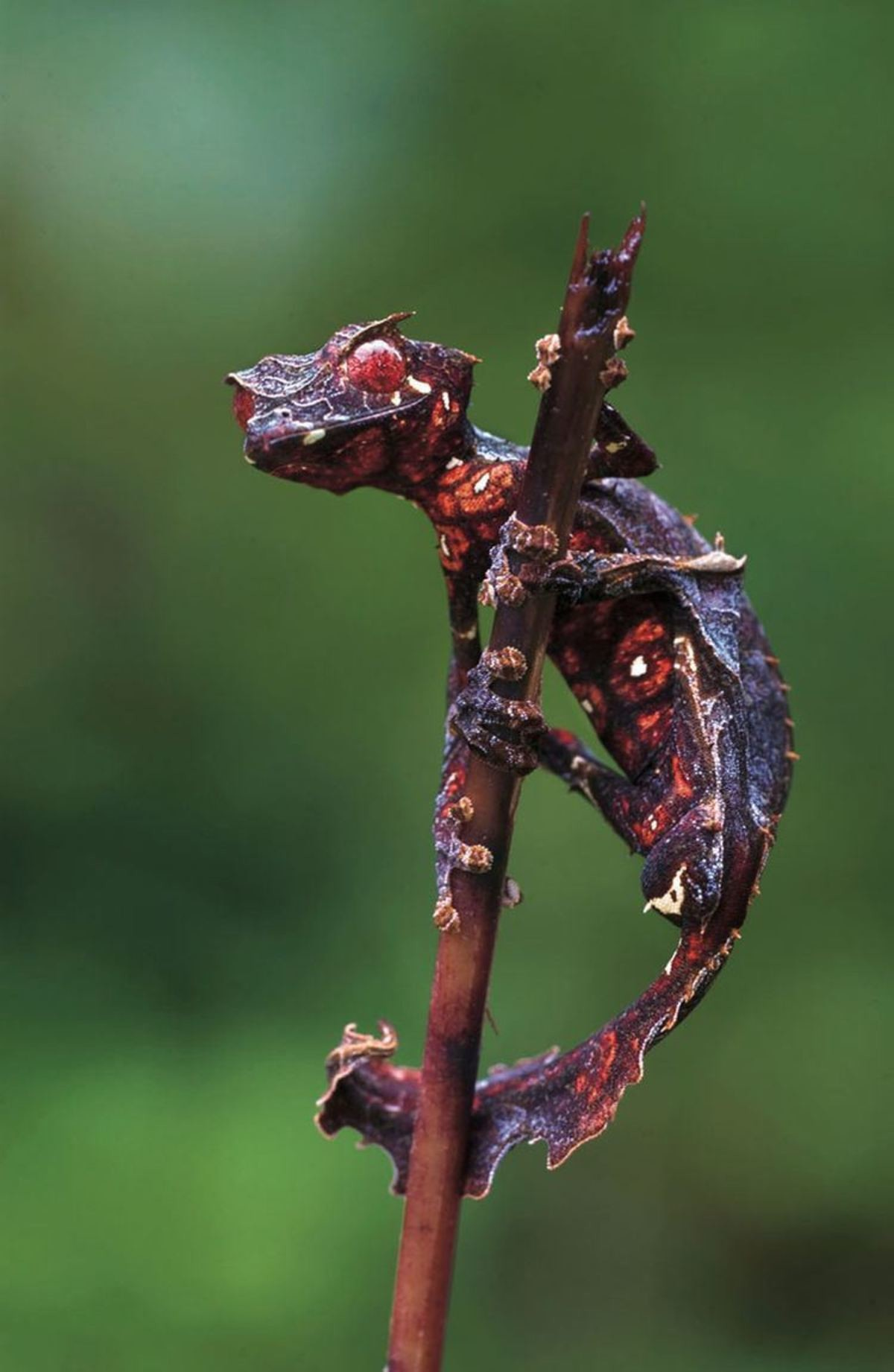 Satanic Leaf-Tailed Gecko. .. I'm pretty sure that's just a pokemon.