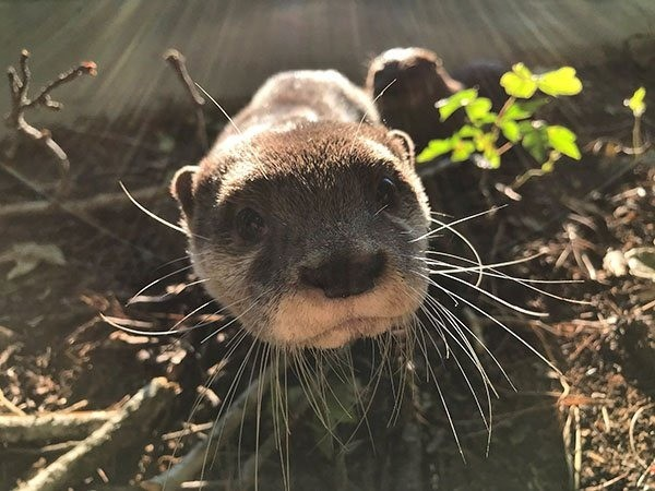 The sunlight really highlights otter's impressive whiskers!. .