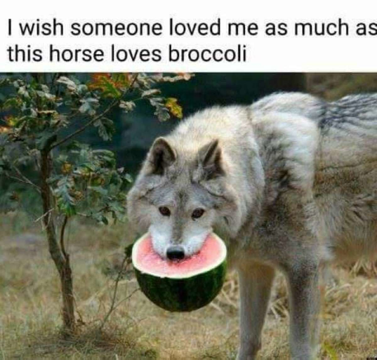 unique brainy yellow Panther. .. That's a wolf eating a watermelon Did I do the joke right?