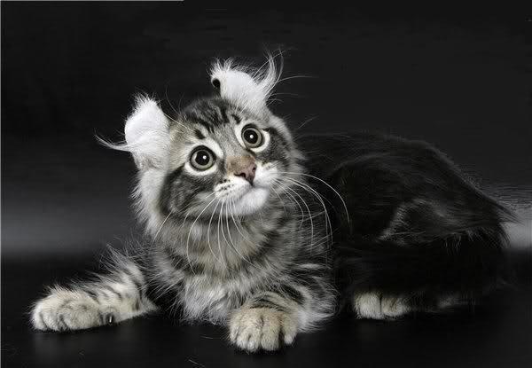 Short Hair American Curl Cat