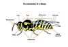 Anatomy of the Wasp